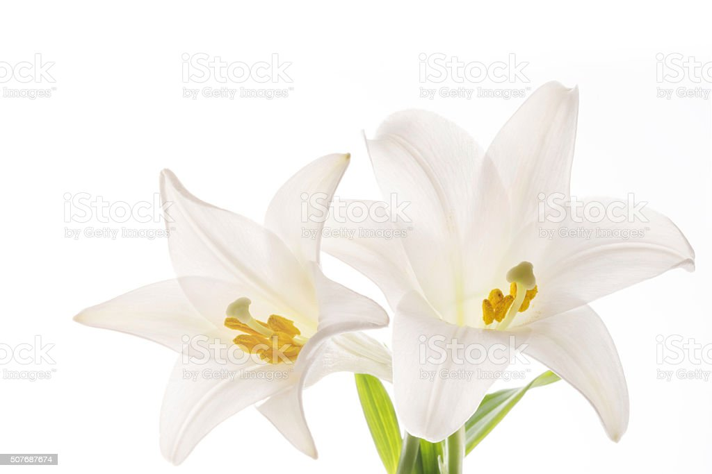The lilies of a white background stock photo