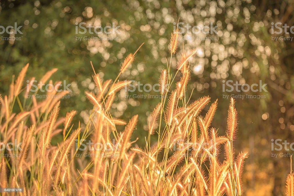 The Liliopsida, Poaceae stock photo