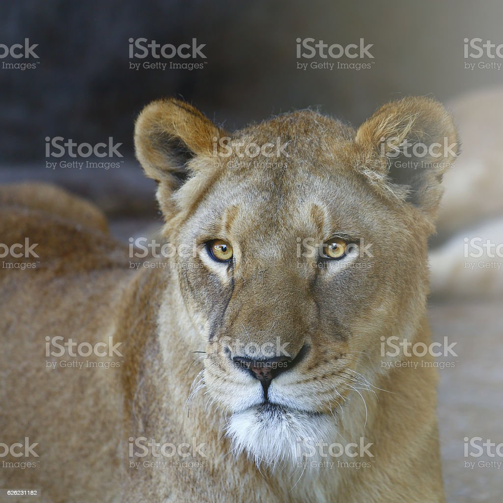 The Lion Face stock photo