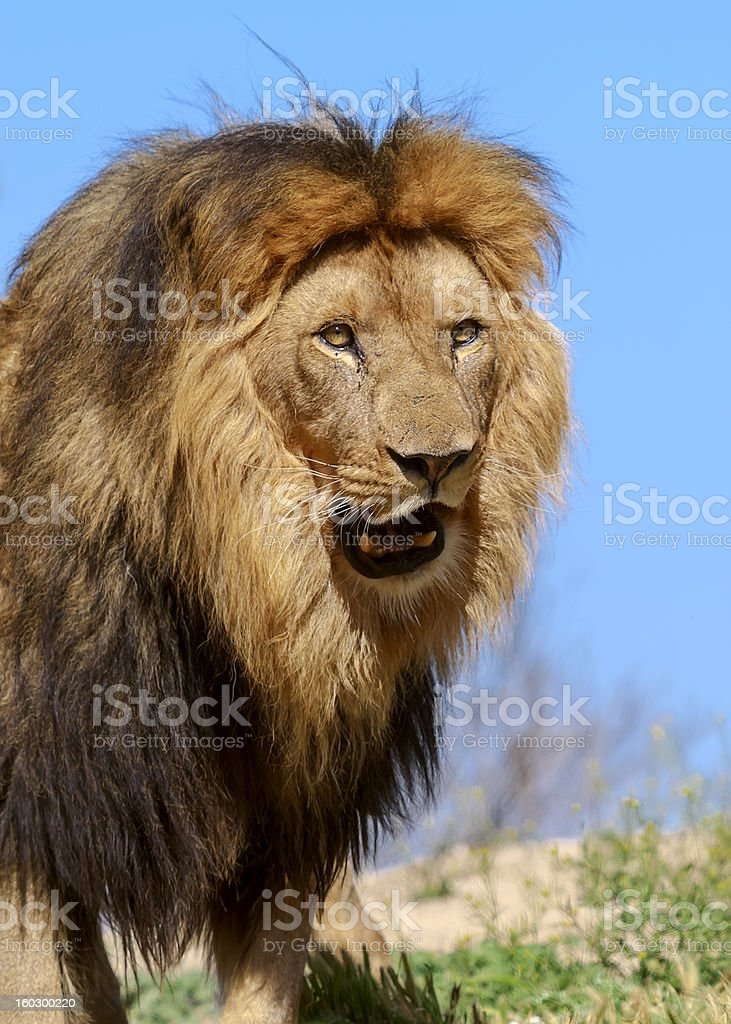 The Lion King royalty-free stock photo