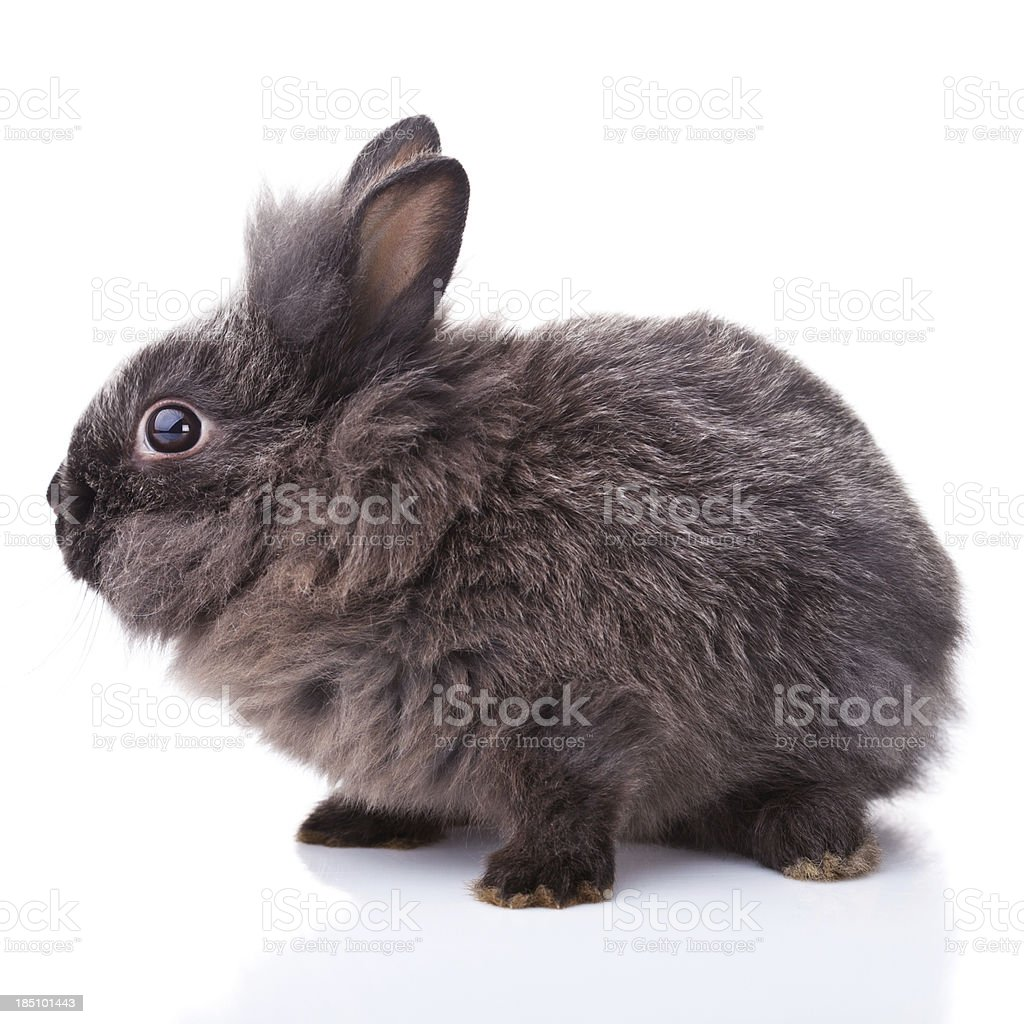 The Lionhead Rabbit stock photo