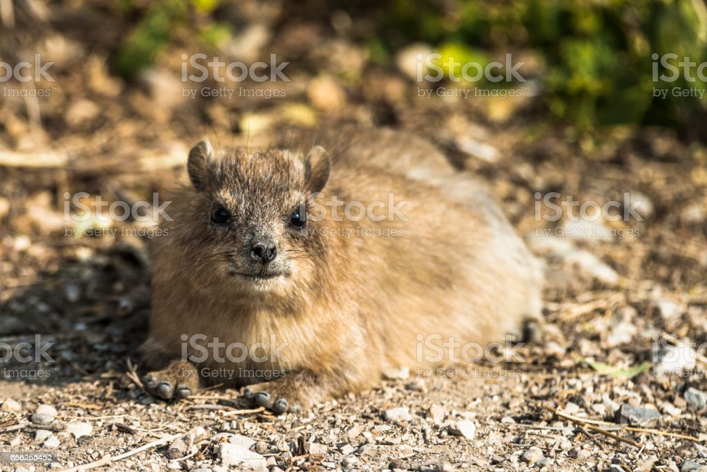 The little beast of the desert stock photo
