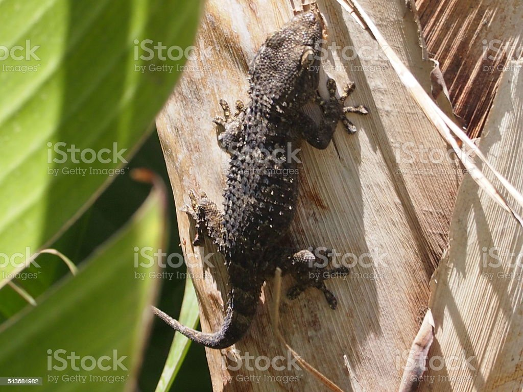 The little black lizard stock photo