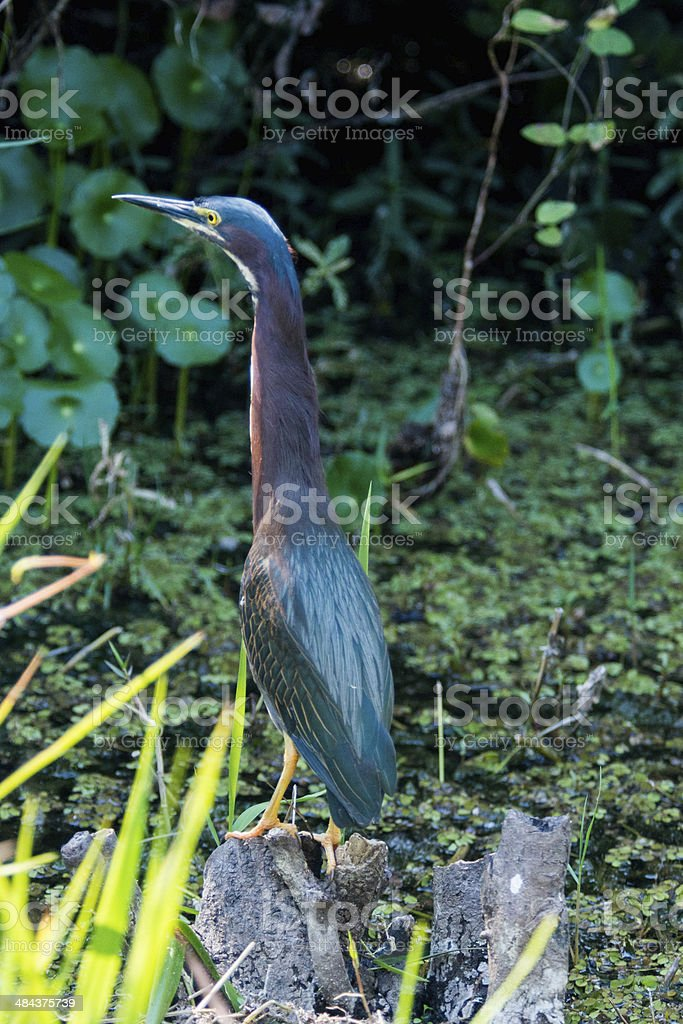 The Little Blue Heron on a Rock stock photo