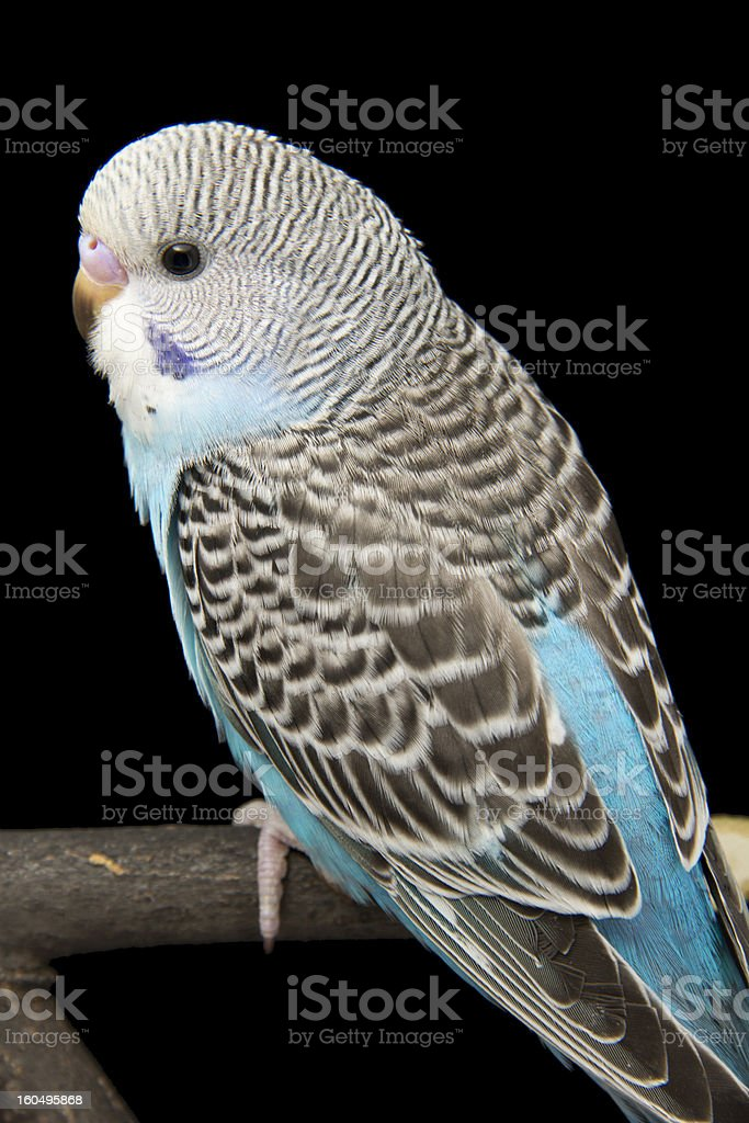 the little blue parrot is on a branch royalty-free stock photo