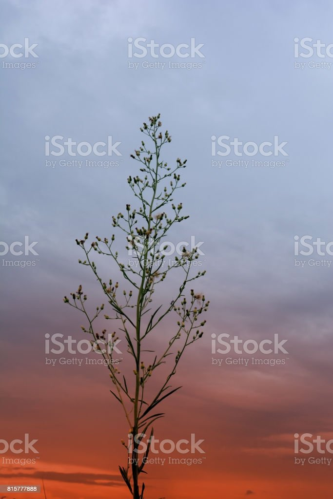 the little flower with twilight sky  in evening stock photo