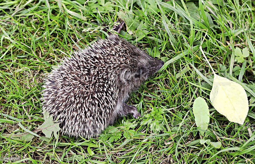 the little hedgehog sits in a grass stock photo