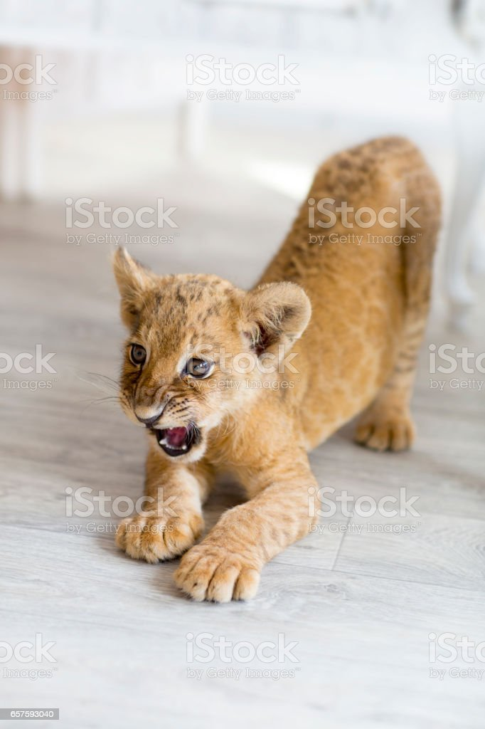 The little house lion is angry stock photo