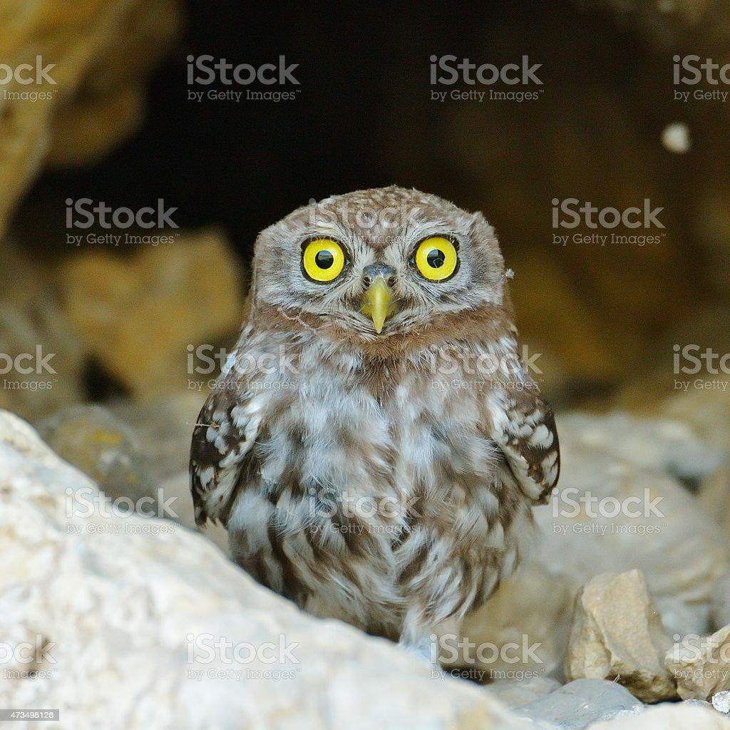 the little owl in natural habitat (Athene noctua) stock photo