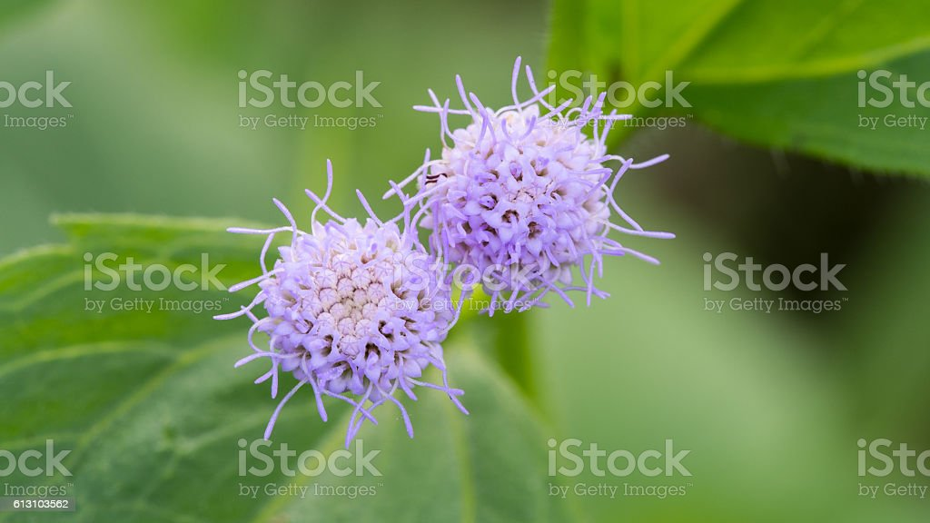 The Little Purple flowers stock photo