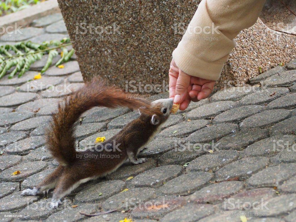The little squirrel got feeding. stock photo