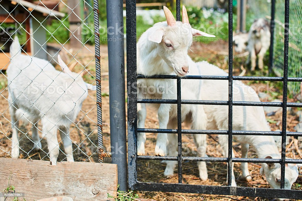 The little white goat in the pen stock photo