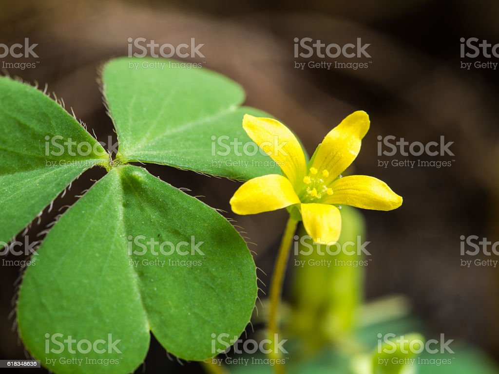 The Little Yellow Unwanted Flower stock photo