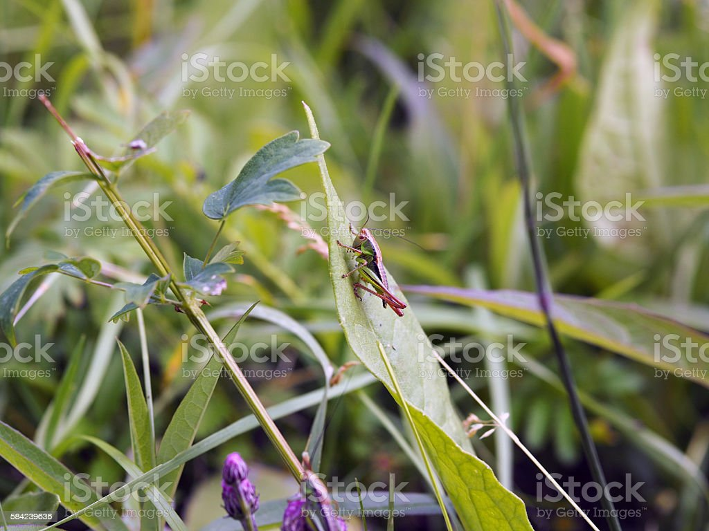 The locust is going to jump with a green leaf stock photo