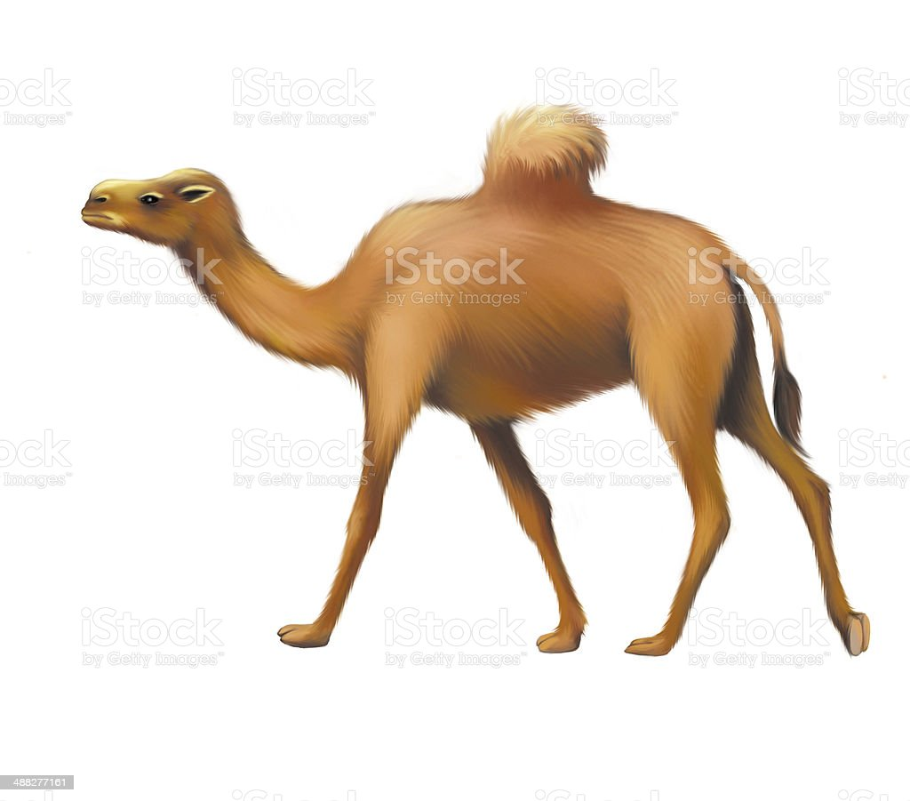 The lonely domestic camel, Isolated on white royalty-free stock photo