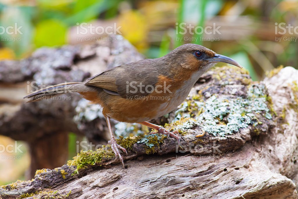 The long bill bird on timber royalty-free stock photo