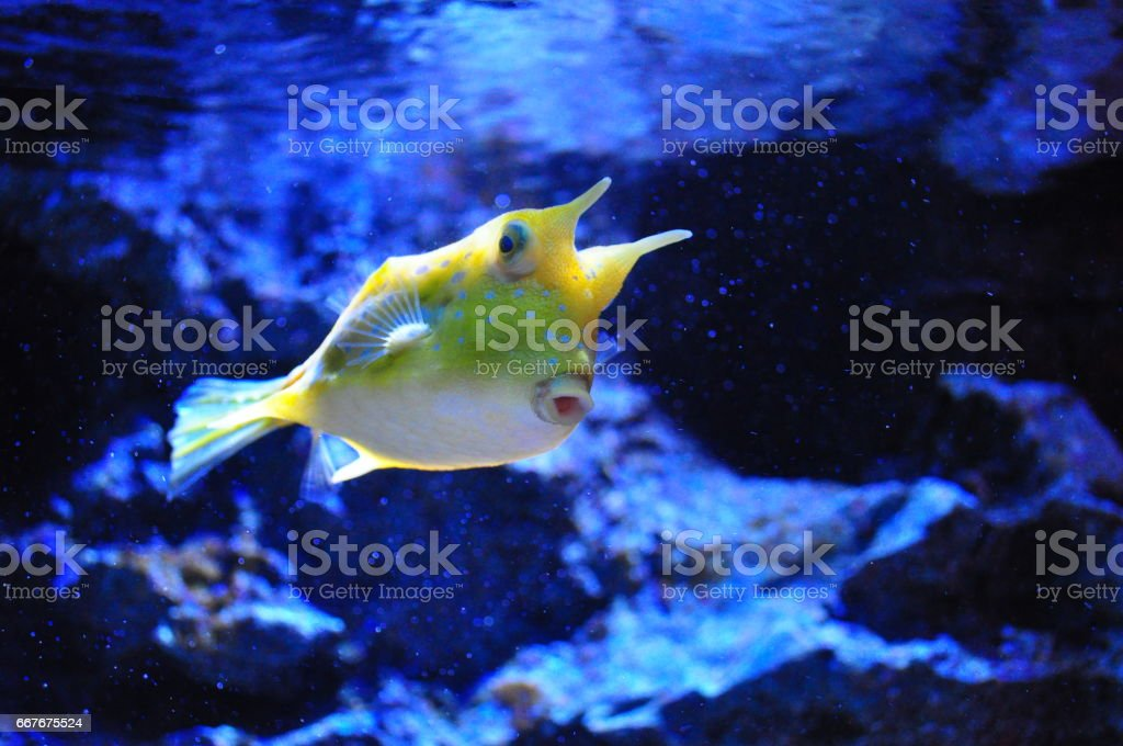 The Longhorn Cowfish stock photo