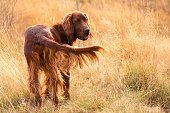 the look of a young Irish setter