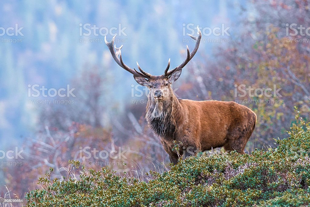 the look of the deer stock photo