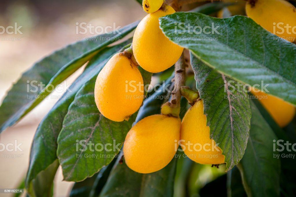 The loquat or Eriobotrya japonica with yellow fruits, Japanese plum stock photo