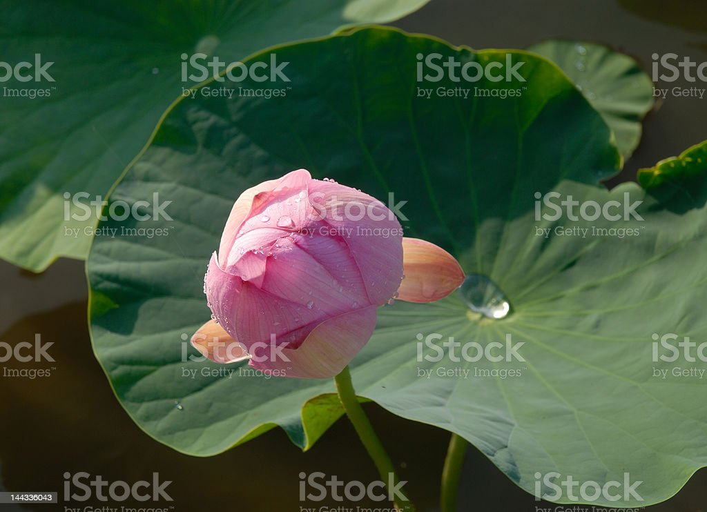 The Lotus flower royalty-free stock photo