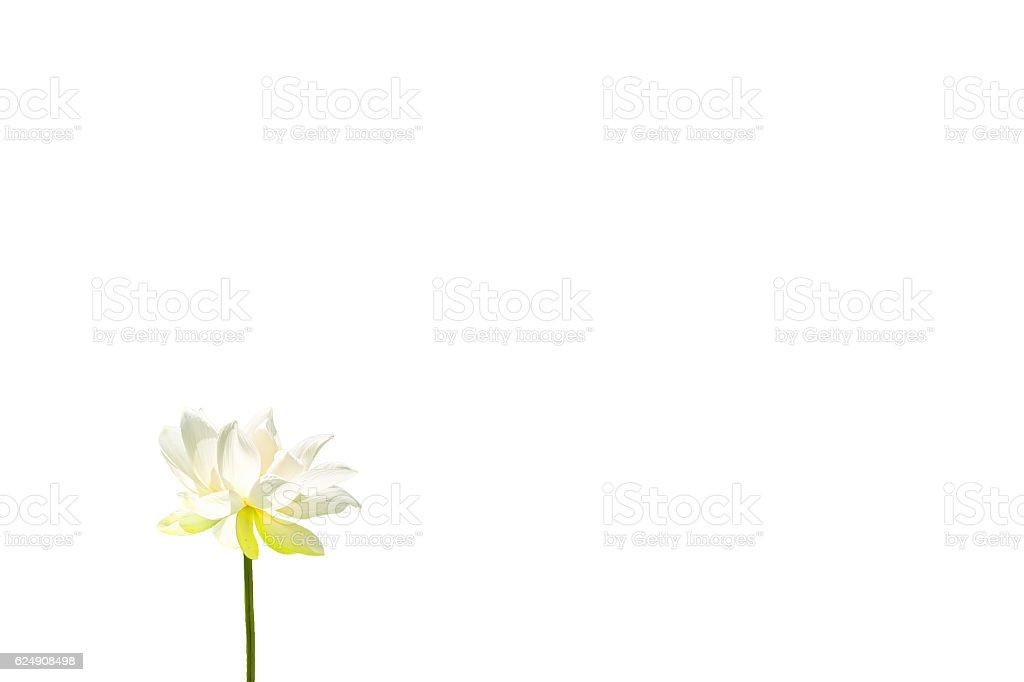The Lotus Flower stock photo