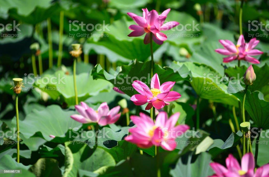The lotus in Beihai park in summer,Beijing,China. stock photo