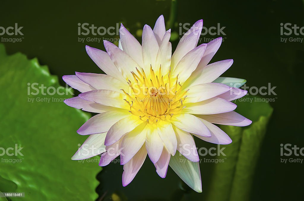 The Lotus on pond royalty-free stock photo