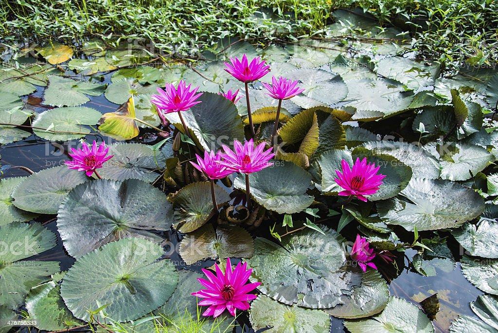 The lotus royalty-free stock photo