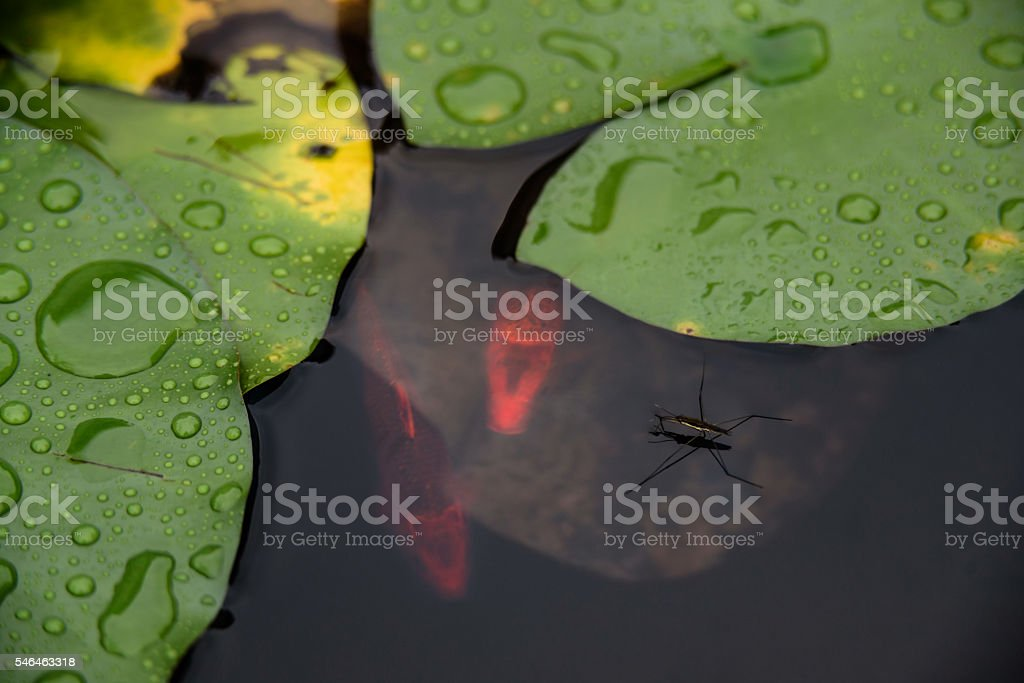 The lotus pond in the rain. stock photo