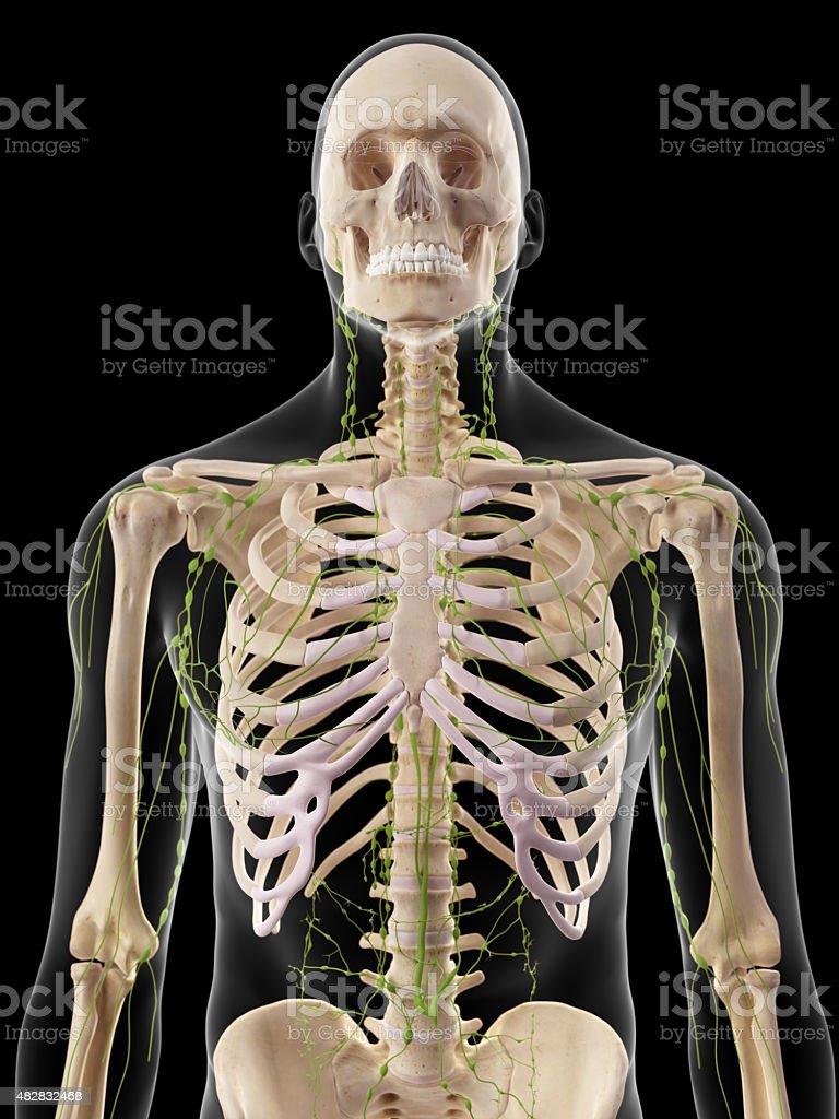 Das Lymphsystem Stockfoto 482832468   iStock