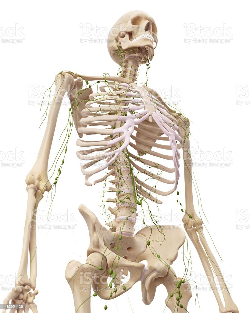 The lymphatic system stock photo