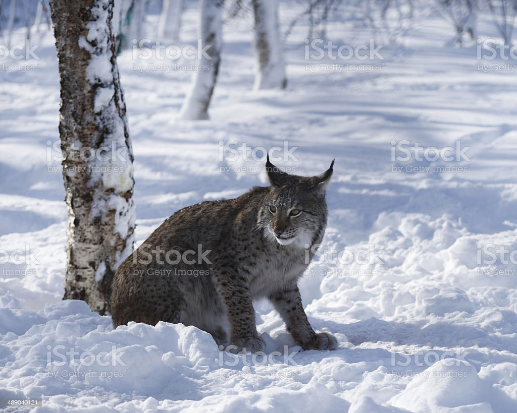 The Lynx In The Snowy Forest stock photo