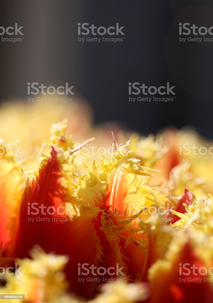 The macro shot of fluffy yellow-red tulip petals stock photo