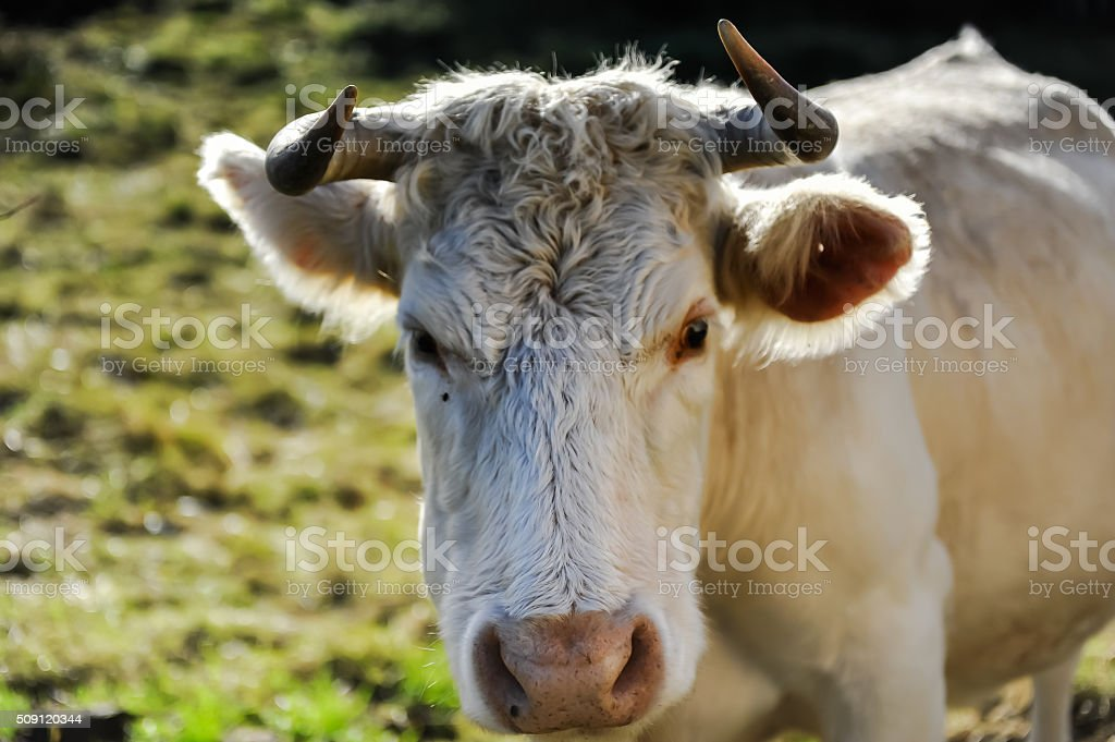 The mad staring cow, Ireland, Aran Island stock photo