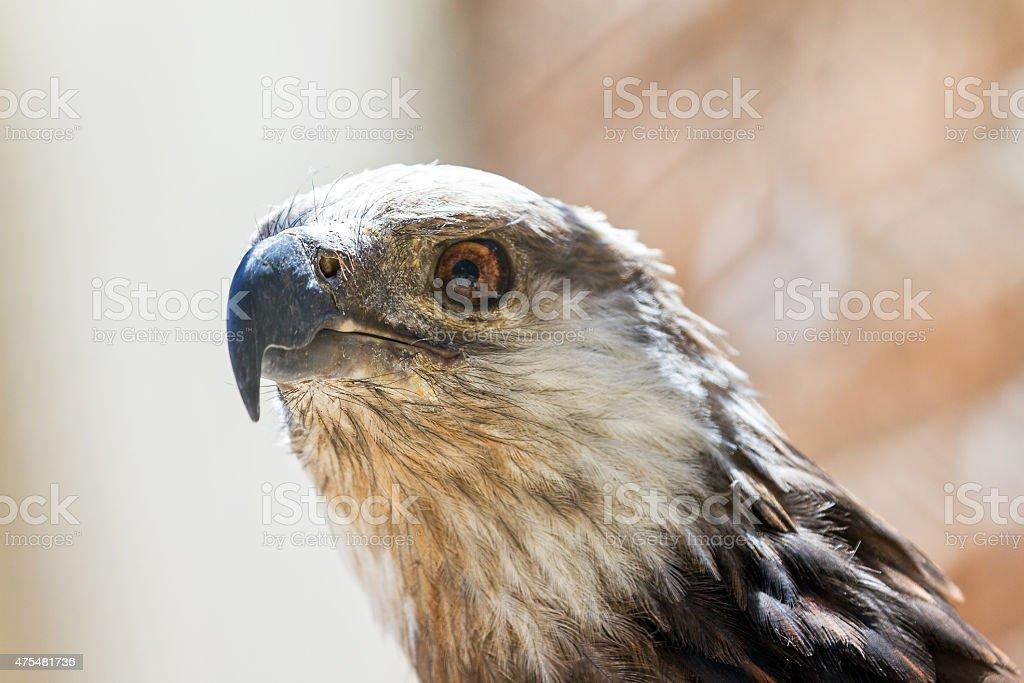 The Madagascan fish eagle close up stock photo