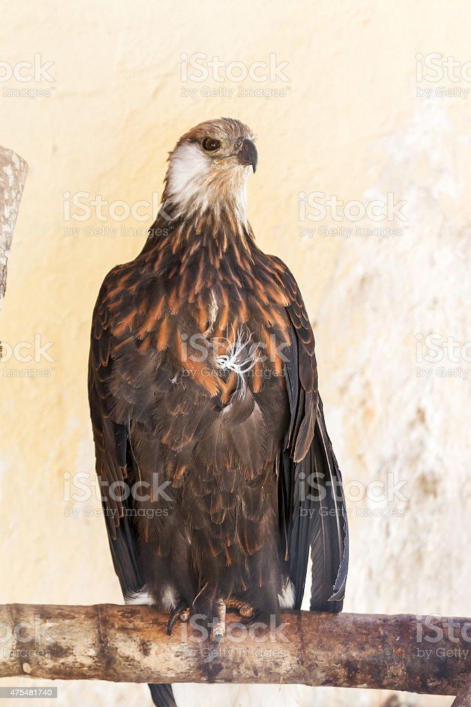 The Madagascan fish eagle stock photo