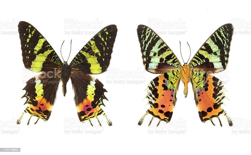 The Madagascar Sunset Moth (Urania riphaeus) royalty-free stock photo