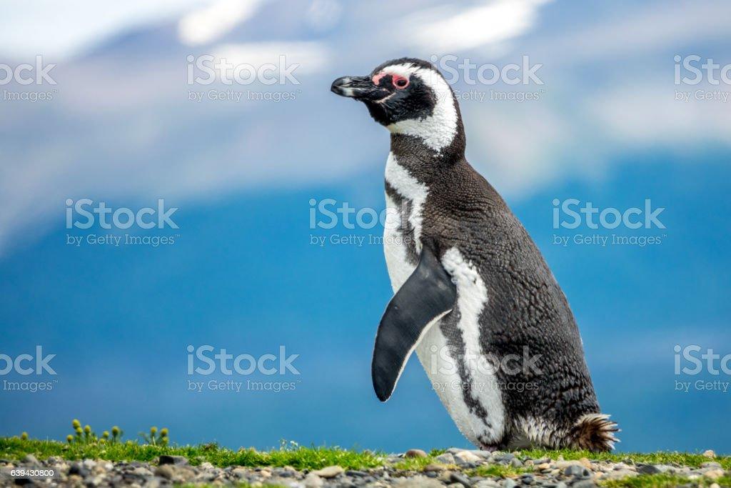 The Magellanic Penguin stock photo