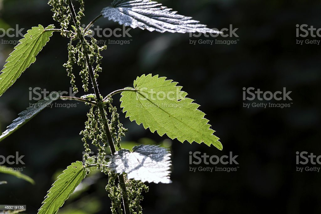Backlit green stinging nettle Urtica dioica leaf stock photo
