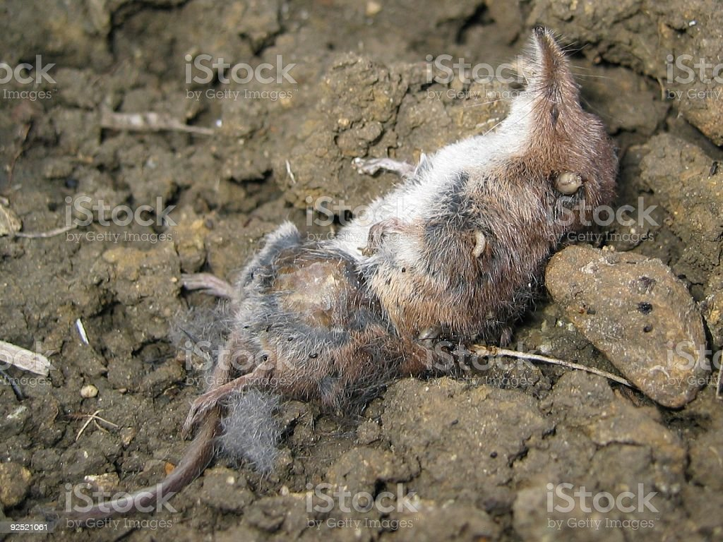 The mainming of the shrew stock photo