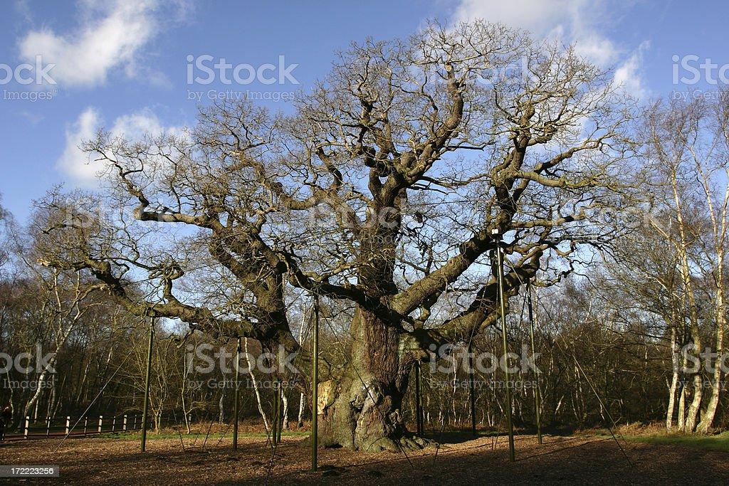 the major oak tree of Sherwood Forest England royalty-free stock photo