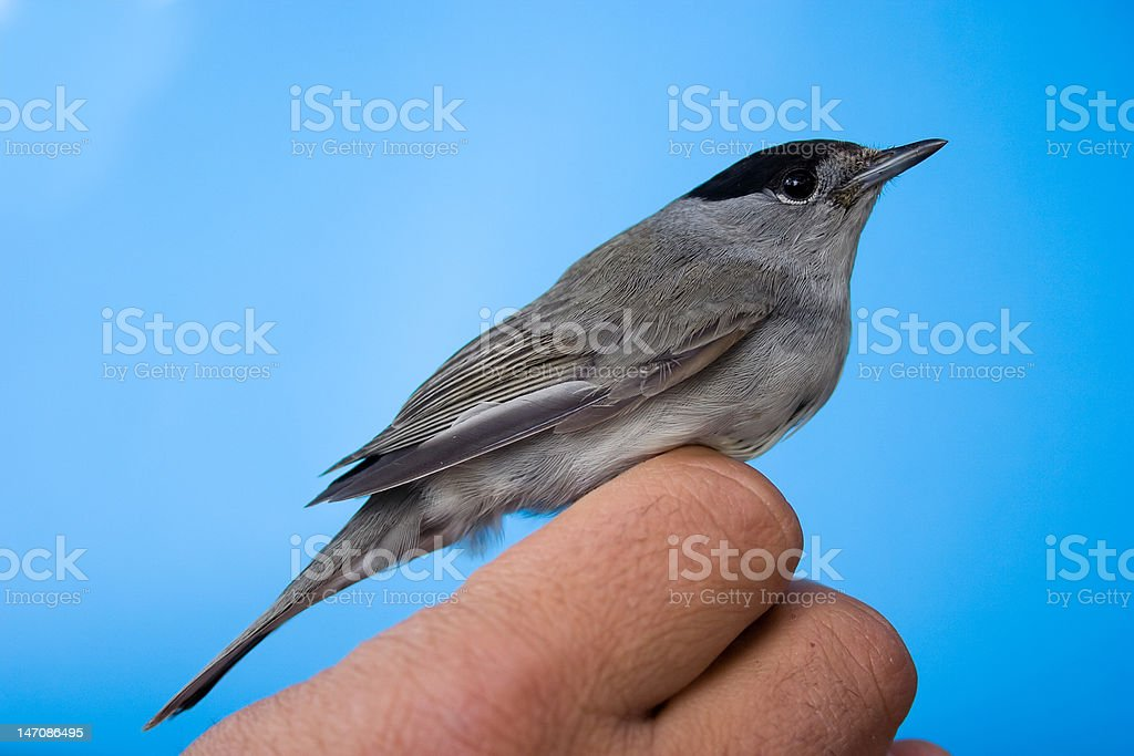 The male blackcap royalty-free stock photo