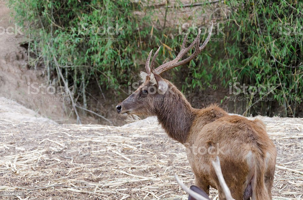 the male deer stock photo