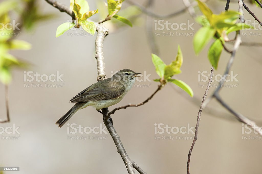 The male sings a love song (Chiffchaff) royalty-free stock photo