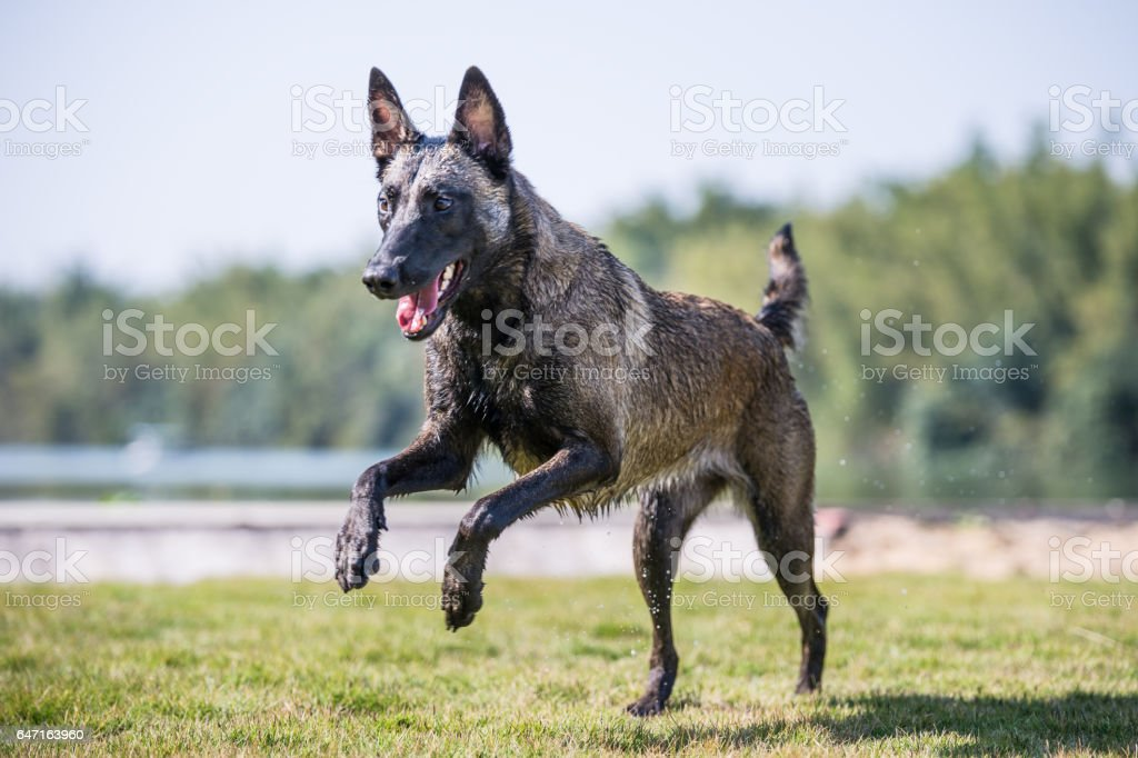 The Malinois play on the grass stock photo
