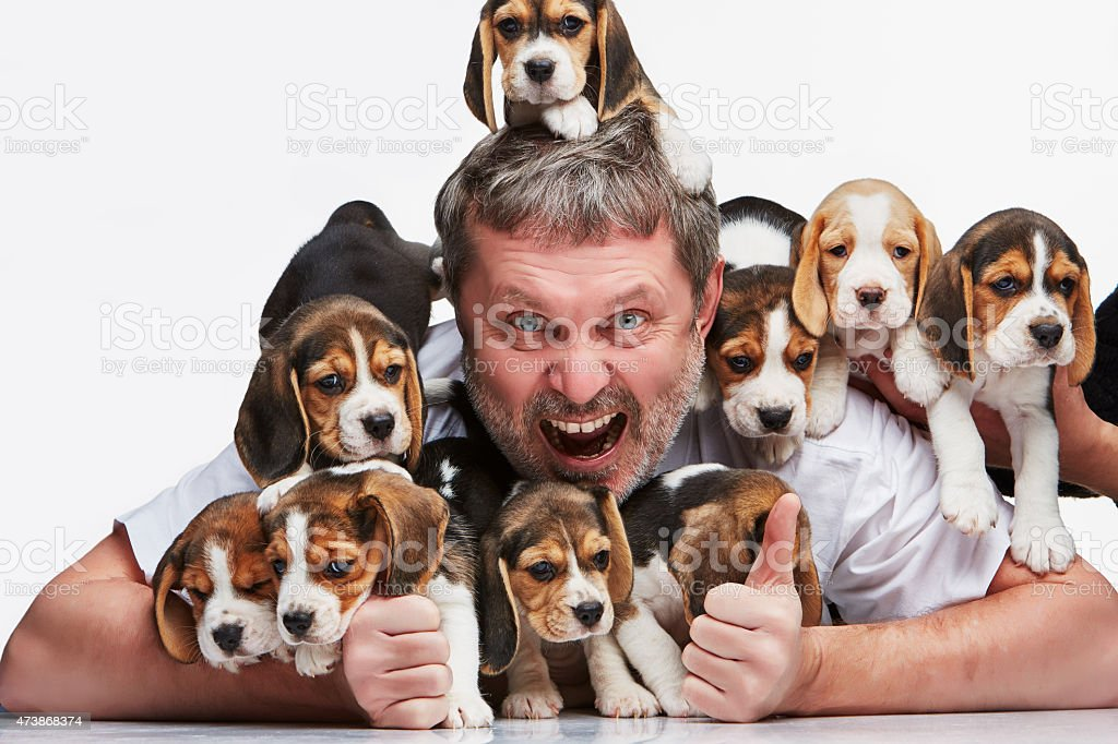 The man and big group of a beagle puppies stock photo