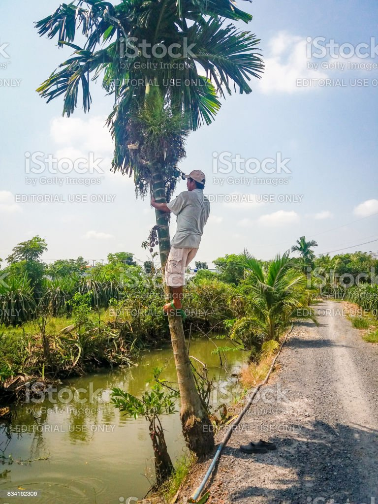 The man climbing in a areca palm tree stock photo