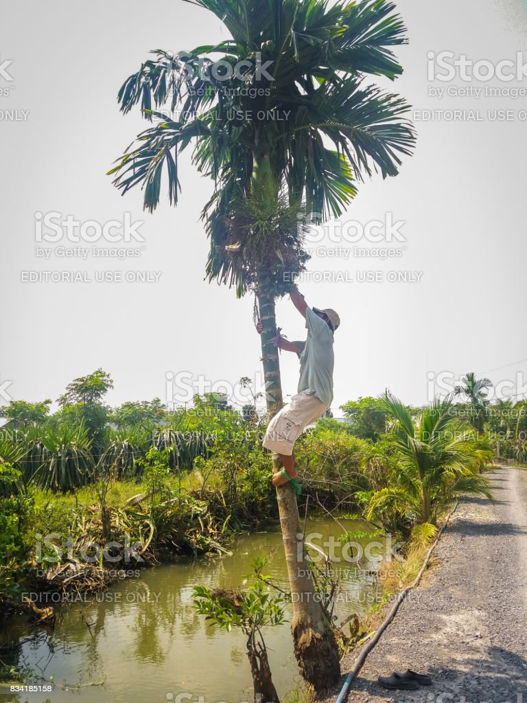 The man climbing in a areca tree stock photo