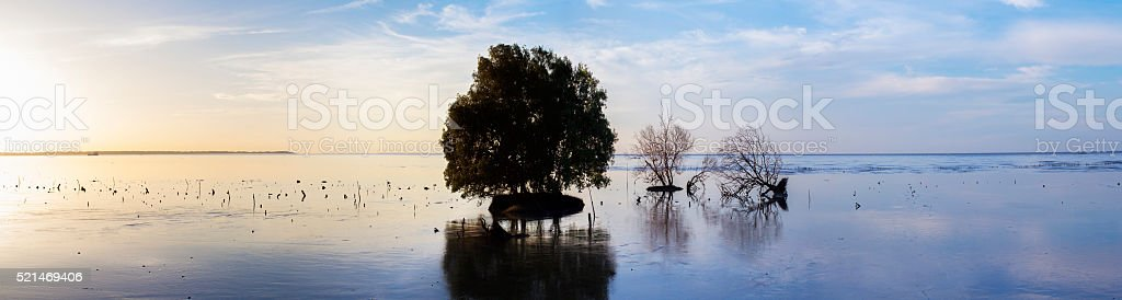 The mangrove tree laid down on beach swamp stock photo